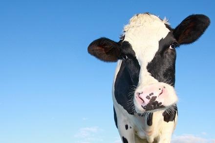 Dairy cow Dairy Response Fund
